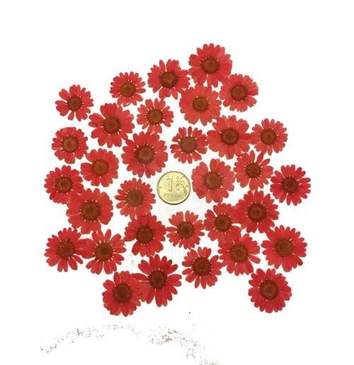 Цветы сушеные дэйзи для декора